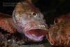 Scorpionfishes fighting #3 (Nicolas & Léna REMY) Tags: nsw marinelife underwater ocean fighting wildlife australia fish scorpionfish nauticam sydney inon bareisland pacificocean combat diving mer photography plongée poisson scuba sea wild