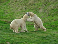 """Nissan and Nobby playing (LadyRaptor) Tags: yorkshirewildlifepark yorkshire wildlife park doncaster ywp nature outdoors autumn water droplets grass rocks play playing fight fighting sparring fun """"best friends"""" bffs besties friends friendly cute animal animals predator carnivore caniformia ursidae polarbear polarbears male males polar bear bears ursusmaritimus projectpolar nissan nobby"""