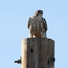 Prairie Falcon (jlcummins - Washington State) Tags: lincolncounty davenport washingtonstate bird prairiefalcon morrisonroadnorth falcon raptor