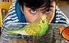 Budgie (Dennisbon) Tags: dennisbon canon eos 7d melbourne australia bird australiannative greenpet onebird indoor budgie wild north colourful oscar