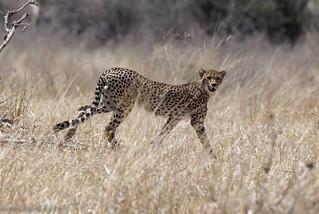 Guépard Cheetah 5798_DxO.jpg