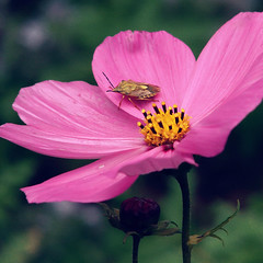 C o s m o s (Cé Graphy's) Tags: sonydsch1 sonycybershot camera capture picture photo photographie shot nature campaign cosmos flower insect pinkflower field grass nectar petals colors forest