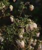 Grevillea tenuiflora, Foxes Lair Nature Reserve, Narrogin, WA, 17/09/17 (Russell Cumming) Tags: plant grevillea grevilleatenuiflora proteaceae foxeslairnaturereserve narrogin westernaustralia