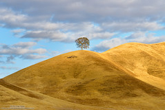 Sitting Pretty (michael ryan photography) Tags: lonetree lone oak oaktree loneaok gold goldenthills hills rollinghills light clouds blue tehama tehamacounty california northerncalifornia isolated alone michaelryanphotography