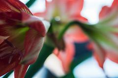 Hippeastrum (marktmcn) Tags: hippeastrum flowers flower heads amaryllis red petals stem stamen macro d610 micro nikkor 55mm f28 depth dof abstraction organic