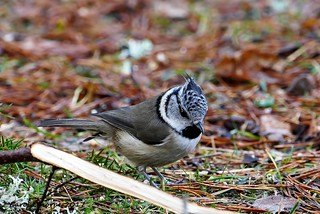 Crested Tit-Foraging