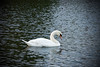 Swan (edvk49) Tags: swan zwaan white wit water natuur nature