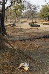 warning to those that venture here (charlesgyoung) Tags: charlesyoung southluangwanationalpark zambia essentialafrica africa kaingocamp karineaignerphotographyexpedition nikon nikonphotography nikondx safari wildlifephotography capebuffalo d810