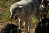 IMG_1236 (goaniwhere) Tags: wolf animal wolves wildanimal sanctuary