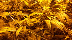 20150512_095148 (CannaPsy) Tags: hydroponics flood drain indoor medical cannabis marijuana weed horticulture high pressure sodium hps og