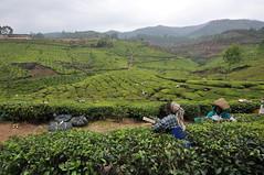 India - Kerala - Munnar - Tea Plantagen - Harvest - 242 (asienman) Tags: india kerala munnar teaplantagen asienmanphotography