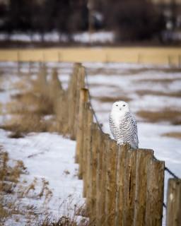 Snowy on a fence