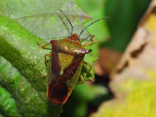 Hawthorn Shieldbug - Acanthosoma haemorrhoidale
