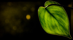 One leaf...... (tomk630) Tags: leaf green light dark color virginia beauty sunrise