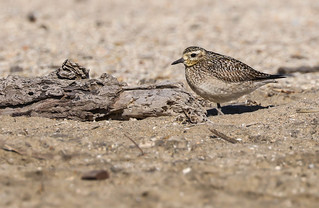 Pacific Golden Plover rare bird for Los Angeles Dockweiler Beach on a wind swept blustery day 053