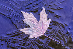 Thin Ice (Lindaw9) Tags: maple leaf ice shanty bay northern ontario macro freezing