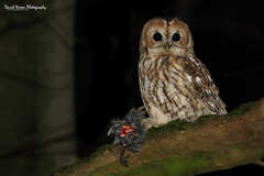 Tawny Owl, Strix aluco with prey (Midlands Reptiles & British Wildlife Diaries) Tags: tawny owl strixaluco staffordshire churnet valley night nocturnal feeding prey talons perched owls birds preditor hunting catch caught food mantle canon 7dmkii 100400 100400mm canon100400l david nixon fauna forest ecology conservation lane darkness prowling prowles