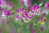 Beauty Break (Synapped) Tags: double columbine flower pink white group bunch garden