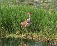 pheasant tailed jacana (DineshMunuswamy) Tags: bird pheasanttailedjacana canon canon1300d canonindia chennaiphotography omrroad
