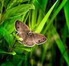 Brown-N-Down (Portraying Life, LLC) Tags: da3004 hd14tc k1 butterfly closecrop handheld nativelighting michigan unitedstates meadow