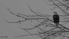 Hunting Patoka Lake (flintframer) Tags: bw black white raptors bald eagle american america patoka lake state park southern indiana monochrome wow dattilo canon eos 7d markii ef600mm 14x maple latefall