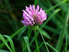 Klee (chrisheidenreich) Tags: flower blume violett lila purple