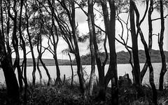 Narrabeen Lake 2016  #616 (lynnb's snaps) Tags: mf narrabeen bw contrejour film lagoon lake landscape mediumformat nature trees 2016 voigtlanderbessaii colorskopar105mmf35 kodaktrix rodinal 120film 6x9 sydney northernbeaches blackandwhite noiretblanc ©copyrightlynnburdekinallrightsreserved voigtlanderbessaiicolorskopar105mmf356x9foldingrangefindercamera