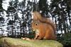 M2039482 E-M1ii 14mm iso200 f4 1_50s S-AF (Mel Stephens) Tags: 20171203 201712 2017 q4 carnie woods aberdeenshire scotland uk red squirrel squirrels animal animals wildlife nature olympus omd ii m43 microfourthirds mirrorless mzuiko 714mm pro godox flash best mft fauna em1ii december very