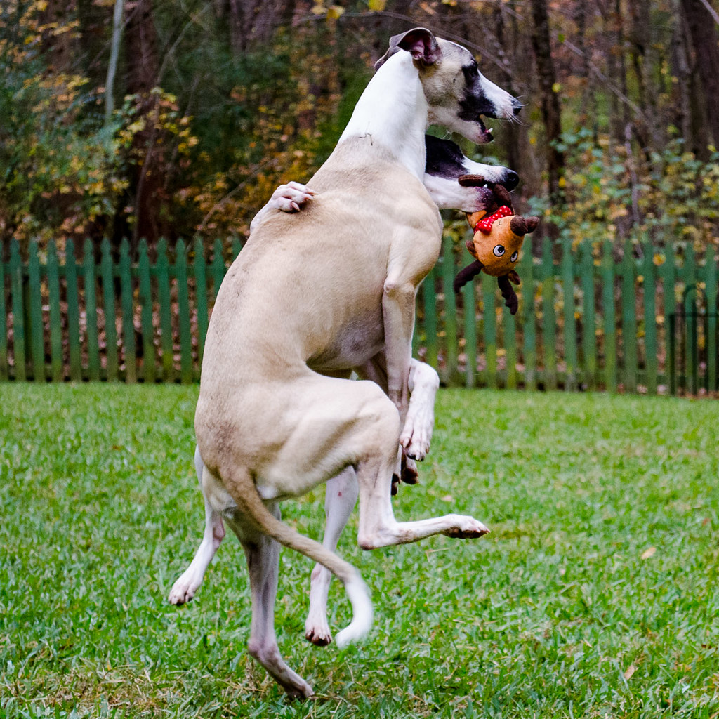 The World S Best Photos Of Whippet Flickr Hive Mind