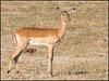 Impala (Female) (John R Chandler) Tags: aepycerosmelampus animal antelope ewe female hwangenationalpark impala mammal matabelelandnorthprovince zimbabwe zw