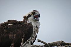 Osprey Calling to Her Mate (Jan Nagalski) Tags: osprey fishhawk nest closeup croppedshot cropped dingdarlingnwr nationalwildliferefuge florida sanibelisland winter jannagalski jannagal nature wildlife