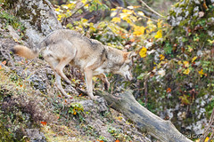 Wolf / wolf / loup 2 (rgr_944) Tags: tiere animaux animals natur outdoor canoneos80deos7dmk2eos5dmk4 rgr944
