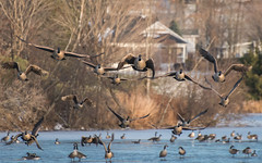 Geese Incoming! (Keztik) Tags: bernacheducanada canadagoose oiseau vol vole fly flying animal nature wildlife nikon d7500 brantacanadensis bird lake lac martinville