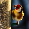 European goldfinch (Snorre t.) Tags: stillits blåmeis european goldfinch carduelis