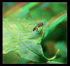 Hoverfly On Curly Leaf 1 - Anaglyph 3D (DarkOnus) Tags: pennsylvania buckscounty panasonic lumix dmcfz35 3d stereogram stereography stereo darkonus closeup macro insect hoverfly curly curled leaf anaglyph diptera