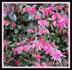 Fringe Plant   Explore #289 (snow41) Tags: bush purple flower pink fringe text explore 289