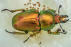 Scarab Beetle 3 (RodShot) Tags: beetle scarab insect nature flower rose