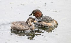 Little Grebe with chick (chrisbarber6) Tags: sigma150600mmsports canon7dmark2 birdphotography bird rspbryemeads wildfowl diver grebe littlegrebe