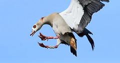 Crash Like An Egyptian (Ger Bosma) Tags: 2mg174885filtered3 nijlgans alopochenaegyptiacus alopochenaegyptiaca egyptiangoose nilgans ouettedégypte ocadelnilo ocaegiziana goose geese waterfowl bird flight incoming landing