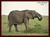 AFRICAN ELEPHANTS (Loxodonta africana)....MASAI MARA....SEPT 2017 (M Z Malik) Tags: nikon d3x 200400mm14afs kenya africa safari wildlife masaimara keekoroklodge exoticafricanwildlife elephants ngc npc