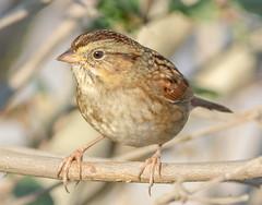 Swamp Sparrow (tresed47) Tags: 2017 201711nov 20171103bombayhookbirds birds bombayhook canon7d content delaware fall folder november peterscamera petersphotos places season sparrow takenby us