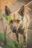 IMG_9301 (juliano.fchaves) Tags: canon eos rebel t3 1100d biriba dog cachorro bege look see eyes olhos green nature animals cão cunha city campo lightroom cc colors