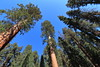 Green and Blue (H. P. Filho) Tags: dslr apsc canoneosrebelt5i canonefs1018mmf4556isstm digitalphotoprofessional sequoianationalpark sequoias trees sky green blue faved 2fav 3fav 5fav 50view 100view 250view 500view