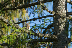 Chouette Chevêchette (Eric Gangloff) Tags: aves birds chouettechevêchette eurasianpygmyowl glaucidiumpasserinum oiseaux sapin strigidae strigidés strigiformes