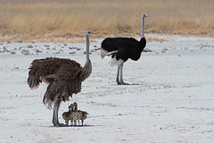Ostrych Family (Palnick) Tags: ostrich nature family park wild animal africa african reserve wilderness safari etosha wildlife group travel bird natural baby young flightless conservation environment outdoor adventure fauna male feather kgalagadi ecological birdwatching beauty birding chicks funny strutting zoological plains outside beautiful head forest kruger namibia national south female desert big summer neck