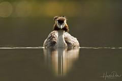 Great Crested Grebe (Hardik Pala) Tags: grebe greatcrestedgrebe birds