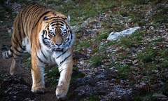 A dusting of snow (NiallBellPhotography) Tags: amur tiger big cat yorkshire wildlife park nature animal conservation