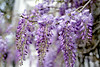 Wisteria (Andrea Garza ~) Tags: wisteria charleston southcarolina spring bloom purple flowers flowering blooming south deepsouth
