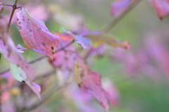 Autumn thoughts (dfromonteil) Tags: feuilles leaves macro bokeh pink green vert rose nature automne autumn softness light lumière