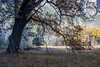 The Black Oak (Kirk Lougheed) Tags: california californiablackoak elcapitanmeadow quercuskelloggii usa unitedstates yosemite yosemitenationalpark yosemitevalley autumn blackoak fall landscape nationalpark oak outdoor park tree